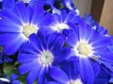 青い青い花.jpeg